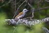 African Grey Woodpecker, Dendropicos goertae, Lake Nakuru National Park, Kenya, Africa