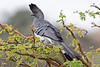 White-bellied Go-away-bird, Corythaixoides leucogaster, Lewa Wildlife Conservancy, Kenya, Africa, Musophagidae Family, Turacos