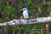Kingfisher, Woodland Kingfisher, Halcyon s. senegalensis, Masai Mara National Reserve, Kenya, Africa, Coraciiformes Order, Alcedinidae Family