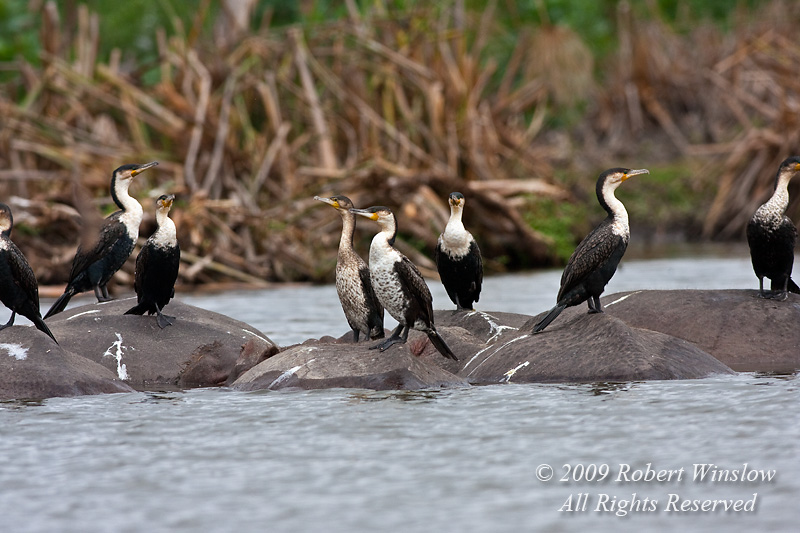 Great Cormorants, Phalacrocorax carbo lucidus, on the backs of Hippos, Lake Naivasha, Kenya, Africa