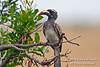 Female African Grey Hornbill, Tockus nasutus, Masai Mara National Reserve, Kenya, Africa