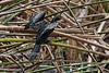 Reed Cormorant or Long-tailed Cormorant, Microcarbo africanus, Lake Naivasha, Kenya, Africa