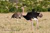 Ostrich (Struthio camelus massaicus), Breeding Male and Female, Masai Mara National Reserve, Kenya, Africa, Struthioniformes Order, Struthionidae Family
