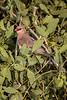 Blue-naped mousebird, Urocolius macrourus, Samburu National Reserve, Kenya, Africa