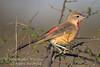 Bush-shrike, Juvenile Rosy-Patched Bush-shrike, Rhodophoneus cruentus hilgerti, Samburu National Reserve, Kenya, Africa, Passeriformes Order, Malaconotidae Family