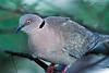 African Mourning Dove, Streptopelia decipiens, Lake Baringo, Kenya, Africa