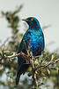 Greater Blue-eared Starling or Greater Blue-eared Glossy-starling, Lamprotornis chalybaeus, Lake Nakuru National Park, Kenya, Africa