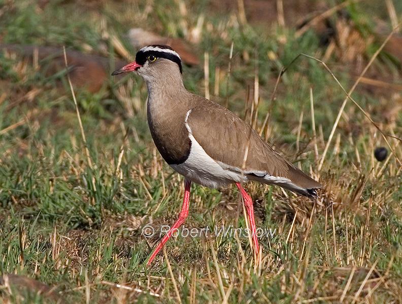 Crowned  Lapwing or Crowned Plover, Vanellus c. coronatus, Vanellus coronatus, Masai Mara National Reserve, Kenya, Africa, Charadriiformes Order, Charadriidae Family