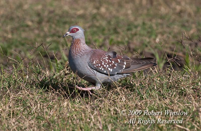 Speckled Pigeon, Columba guinea, Ol Pejeta Wildlife Reserve, Kenya, Africa, Columbiformes Order, Columbidae Family