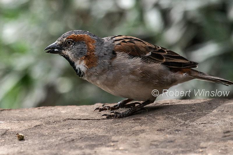 Kenya Sparrow or Kenya Rufous Sparrow, Passer rufocinctus, Great Rift Valley, Kenya, Africa