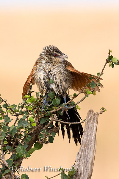 Coucal, White-browed Coucal, Centropus s. superciliosus, Masai Mara National Reserve, Kenya, Africa, Cuculifromes Order, Cuculidae Family