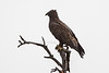Wahlberg's Eagle, Hieraaetus wahlbergi, Masai Mara National Reserve, Kenya, Africa