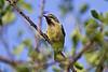 Beautiful Sunbird, Cinnyris pulchella, Lake Baringo, Kenya, Africa