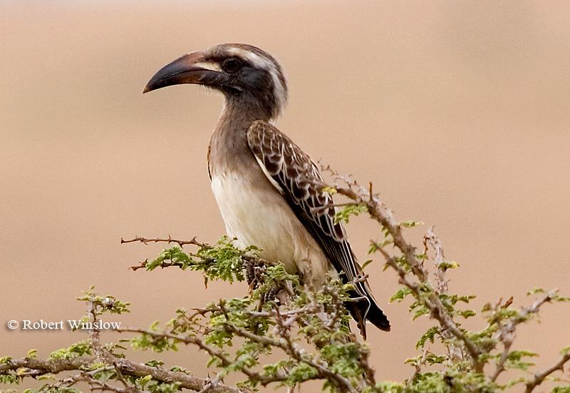 Hornbill, African Grey Hornbill (Tockus nasutus), Nairobi National Park, Kenya, Africa, Coraciiformes Order, Bucerotidae Family