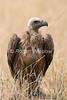 African White-backed Vulture, Gypus africanus, Masai Mara National Reserve, Kenya, Africa