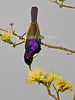 Eastern Violet-backed Sunbird, Anthreptes orientalis, Tsavo West National Park, Kenya, Africa