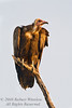 Vulture, Hooded Vulture, Necrosyrtes monachus pileatus, Samburu National Reserve, Kenya, Africa, Accipitriformes Order, Accipitridae Family