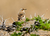Wheatear, Isabelline Wheatear, Oenanthe isabellina, Nairobi National Park, Kenya, Africa, Passeriformes Order, Muscicapidae Family