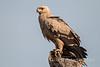Tawny Eagle, Aquila rapax, Samburu National Reserve, Kenya, Africa