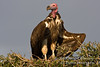 Vulture, Lappet-faced Vulture, Torgos tracheliotus, or, Torgos t. tracheliotus, Masai Mara National Reserve, Kenya, Africa, Accipitriformes Order, Accipitridae Family, Also called Nubian Vulture