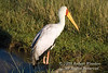 Stork, Yellow-billed Stork, Mycteria ibis, Lake Nakuru National Park, Kenya, Africa, Ciconiiformes Order, Ciconiidae Family