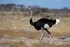 Male Somali Ostrich, Struthio molybdophanes, Samburu National Reserve, Kenya, Africa