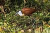Jacana, African Jacana, Actophilornis africana, or, Actophilornis africanus, Masai Mara National Reserve, Kenya, Africa, Charadriiformes Order, Jacanidae Family