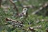 Usambiro Barbet; Trachyphonus usambiro; Masai Mara National Reserve; Kenya; Africa