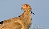 Secretary Bird, Sagittarius serpentarius, Masai Mara National Reserve, Kenya, Africa, Falconiformes Order, Sagittariiddae Family
