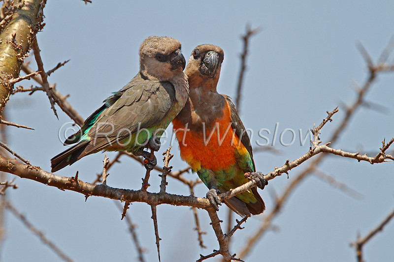 Courting Pair of African Orange-bellied Parrots, Poicephalus rufiventris, Tsavo West National Park, Kenya, Africa