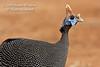 Helmeted Guineafowl, Numida meleagris, Samburu National Reserve, Kenya, Africa, Numididae Family, Galliformes Order