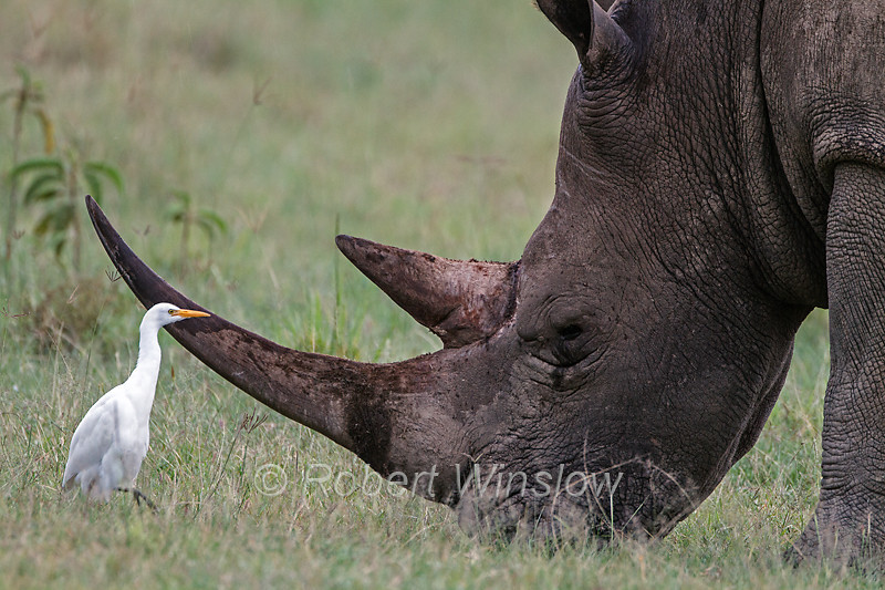 Cattle Egret, Bubulcus ibis, and White Rhino, Lake Nakuru National Park, Kenya, Africa
