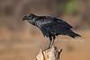 Fan-tailed Raven, Corvus rhipidurus, Samburu National Reserve, Kenya, Africa