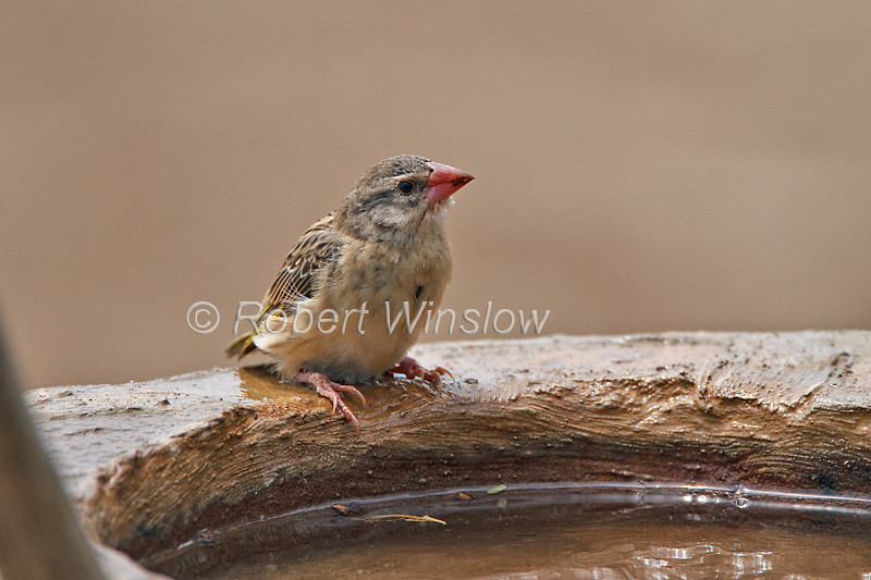 Red-billed Quelea, Quelea quelea, Tsavo East National Park, Kenya, Africa, non-breeding plumage