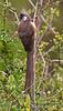 Speckled Mousebird, Colius straitus, Masai Mara National Reserve, Kenya, Africa