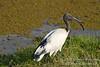 Ibis, Sacred Ibis, Threskiornis aethiopicus, Amboseli National Park, Kenya, Africa, Ciconiiformes Order, Threskiornithidae Family
