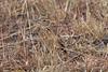 Fawn-colored Lark, Mirafra africanoides, Masai Mara National Reserve, Kenya, Africa