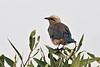 Fischer's Starling, Spreo fischeri, Tsavo East National Park, Kenya, Africa