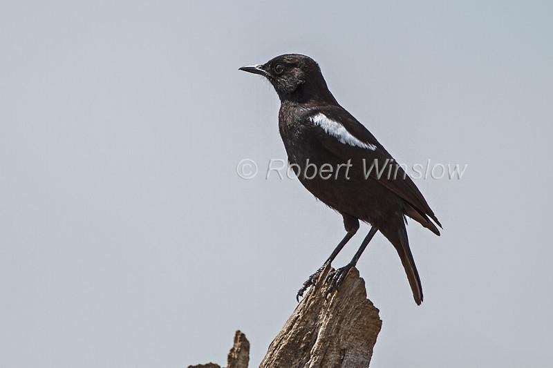 Sooty Chat, Myrmecocichla nigra, Masai Mara National Reserve, Kenya, Africa
