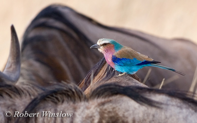 Roller, Lilac-breasted Roller, Coracias caudata, on the back of a wildebeest, Masai Mara National Reserve, Kenya, Africa - actual photo, bird was not added, Coraciiformes Order, Coraciidae Family