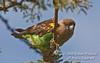 Brown Parrot, Poicephalus meyeri,Ol Pejeta Conservancy, Kenya, Africa