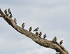 Starling, Tree full of Wattled Starlings, Creatophora cinerea, Masai Mara National Reserve, Kenya, Africa, Passeriformes Order, Sturnidae Family
