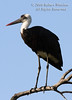 Stork, Woolly Necked Stork, Ciconia episcopus microscelis, Masai Mara National Reserve, Kenya, Africa, Ciconiiformes Order, Ciconiidae Family