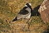 Blacksmith Lapwing or Blacksmith Plover, Vanellus armatus, Masai Mara Natinal Reserve, Kenya, Africa, Charadriiformes Order, Charadriidae Family