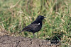 Chat, Sooty Chat, Myrmecocichla nigra, Masai Mara, Kenya, Africa, Passeriformes Order, Muscicapidae Family