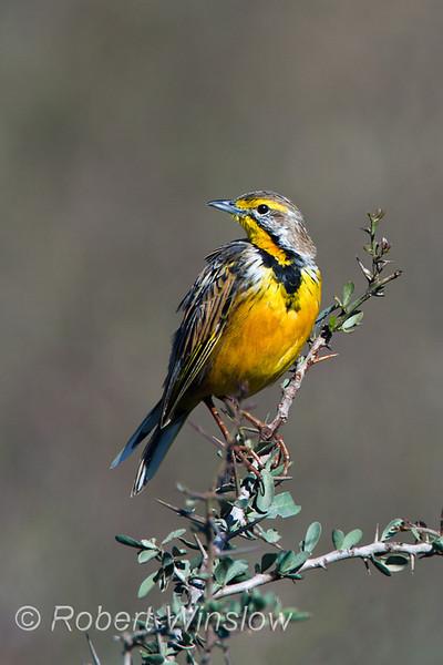 Yellow-throated Longclaw, Macronyx croceus, Lake Nakuru National Park, Kenya, Africa, Yellow-throated Longclaw, Passeriformes Order, Motacillidae Family