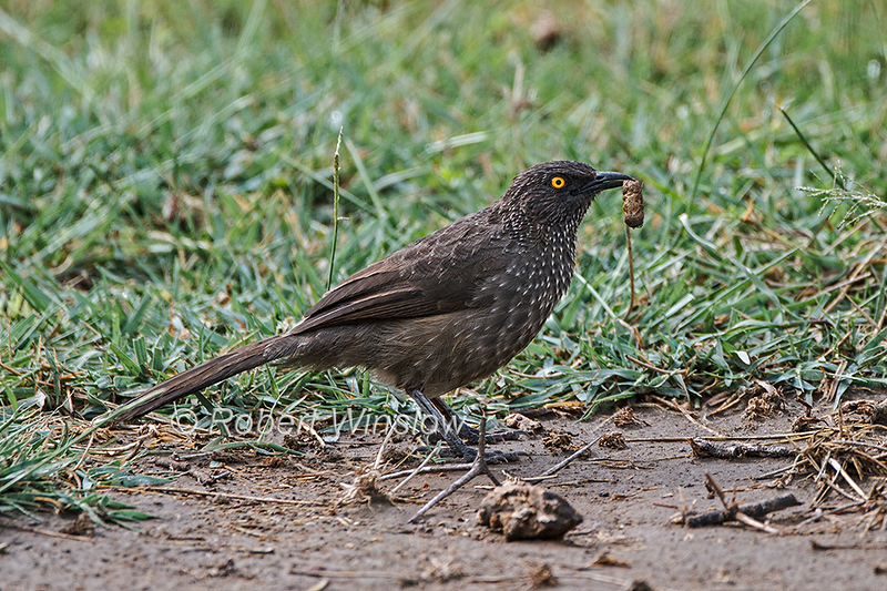 Arrow-marked Babbler, Turdoides jardineii, Lake Nakuru National Park, Kenya, Africa