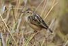 Zitting Cisticola, or Streaked Fantail Warbler, Cisticola juncidis, Masai Mara National Reserve, Kenya, Africa