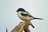 Taita Fiscal, Lanius dorsalis, Tsavo East National Park, Kenya, Africa,  Passeriformes Order, Laniidae Family