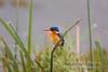 Kingfisher, Malachite Kingfisher, Alcedo cristata galerita, Amboseli National Park, Kenya, Africa, Coraciiformes Order, Alcedinidae Family